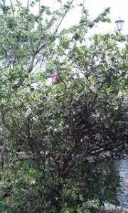 シークワーサーの木