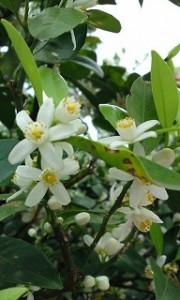 シークワーサーの花