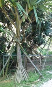 蛸(たこ)の木