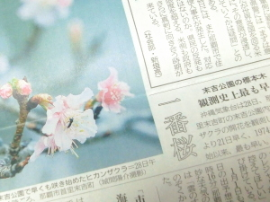 沖縄の一番桜